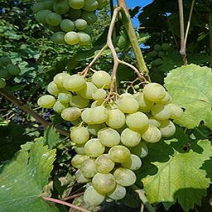 moscato vitigno