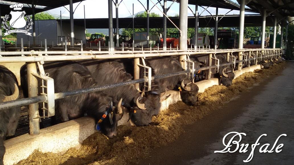 bufale della campania