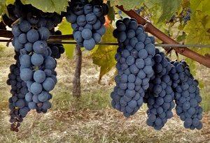 Sagrantino - vitigno