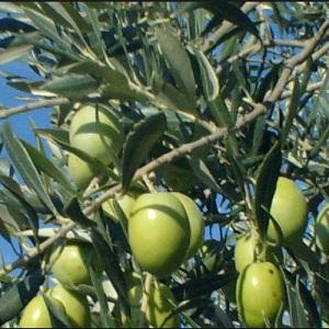 olive ascolane tenere