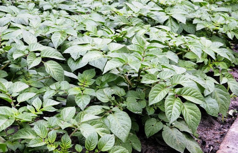 le piante delle patate