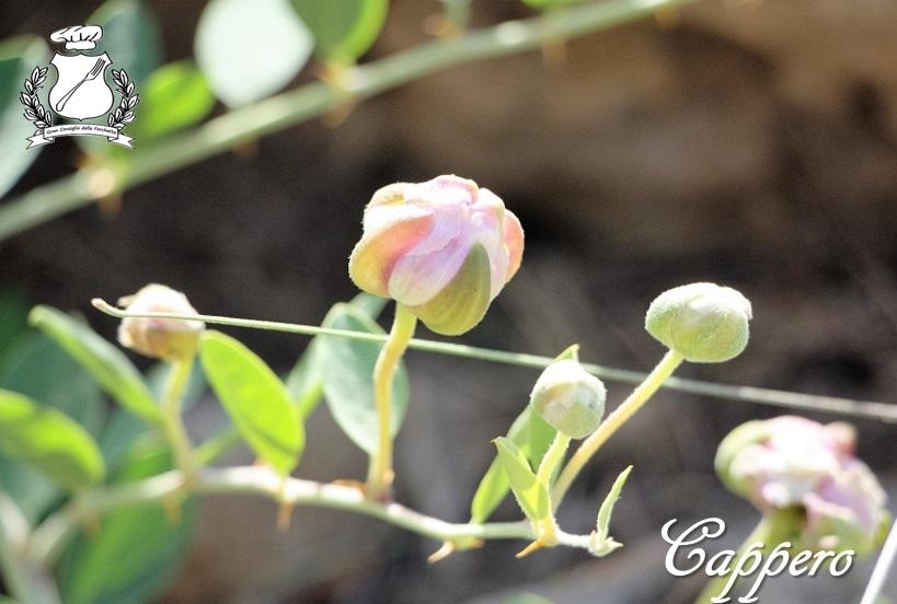 cappero - fiore del cappero