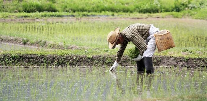 Coltivazione del riso
