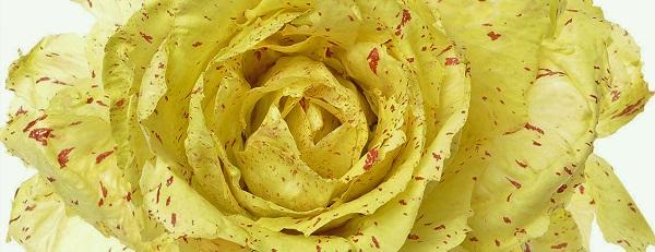 radicchio variegato di catelfranco
